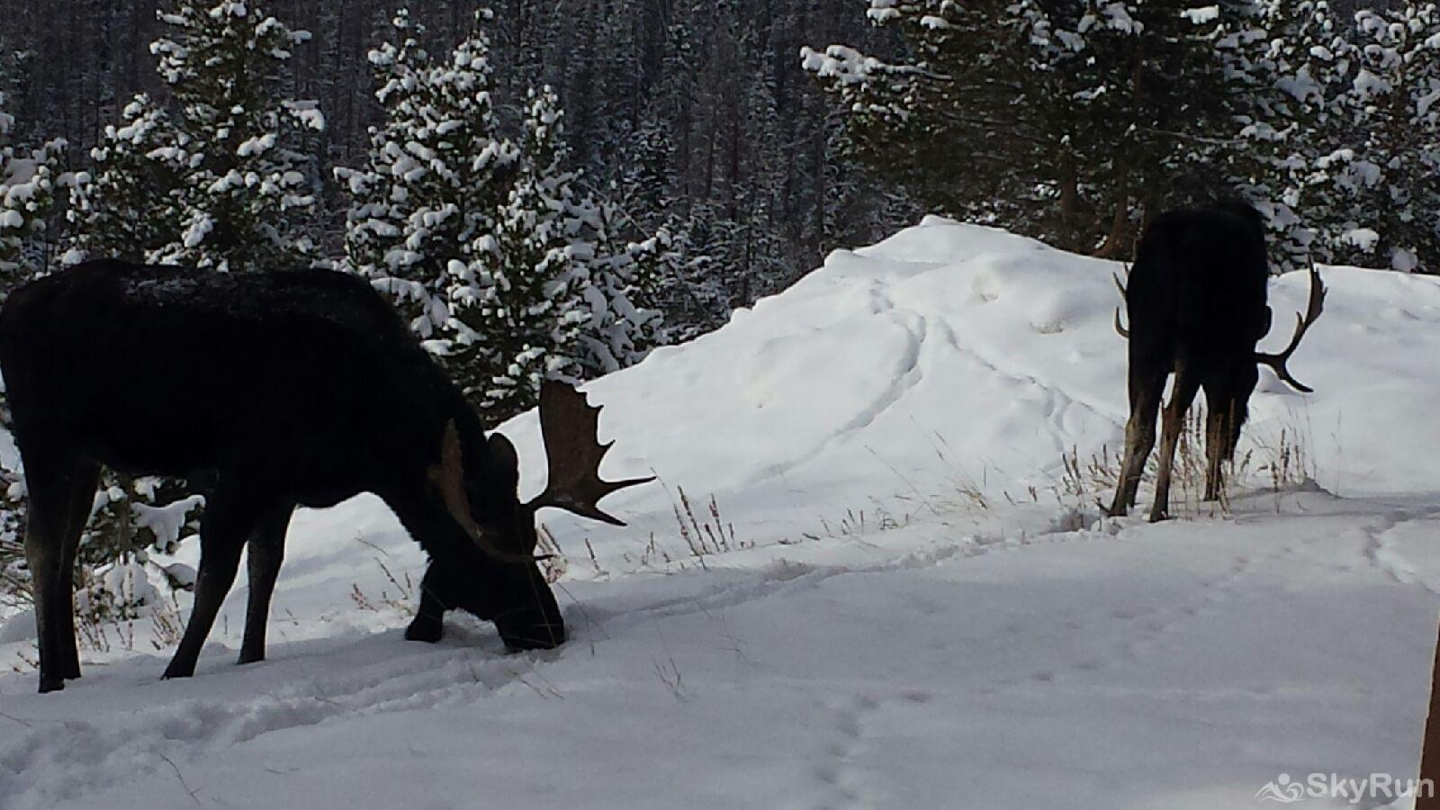 522 Watch Hill Moose visiting the area!