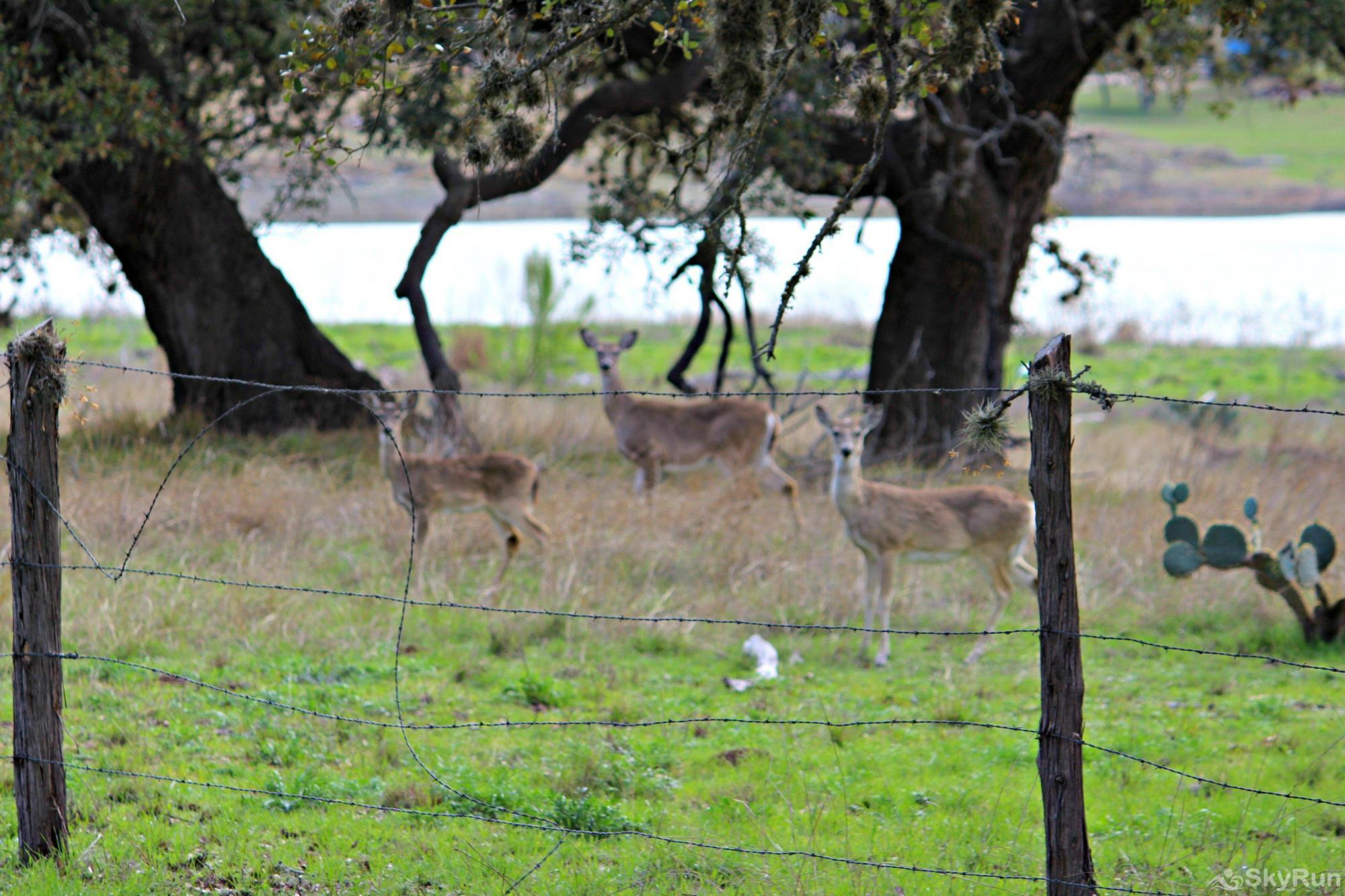 RICKS RIVER HAUS Hill Country Deer Enjoying Canyon Lake